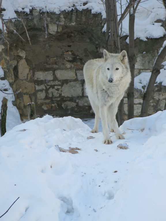 Arctic wolf at Moscow zoo