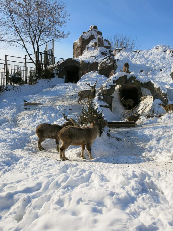 Reindeer and shaggy goats - happy atMoscow zoo