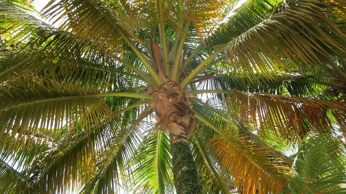 Jamaica - palm tree